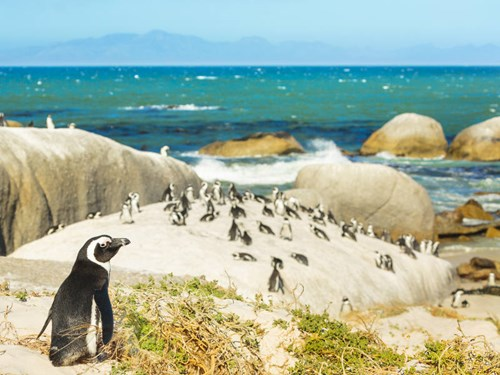 Penguins on Boulders Beach, Cape Town South Africa