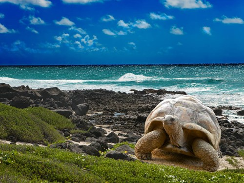 Galapagos Tortoise on Galapagos Islands